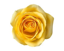 Yellow rose flower top view isolated on