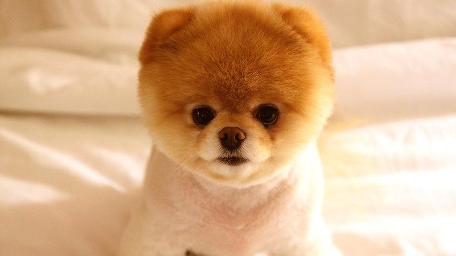 Pomeranian Puppy.jpg