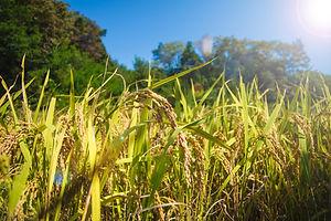 Rice 2.jpg