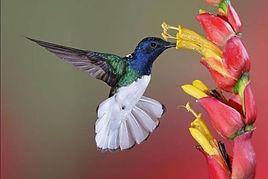 colibris bleu.jpg
