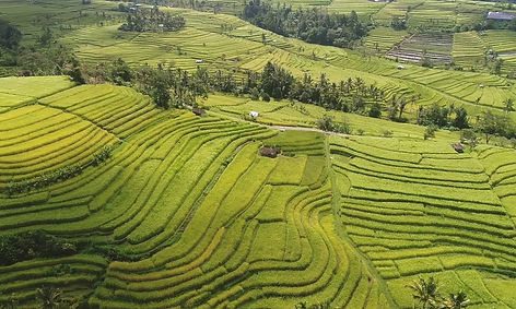 Rice Fields | Yoga Teacher Training Bali