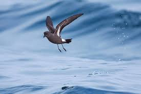 Uccello delle Tempeste Isole Egadi, Marettimo