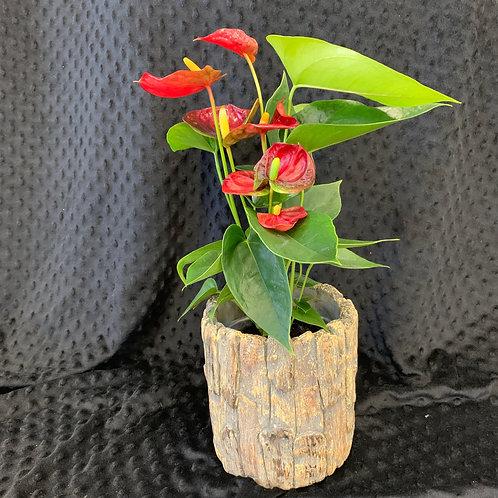 Festive Holiday Plant & Ceramic Bark Planter