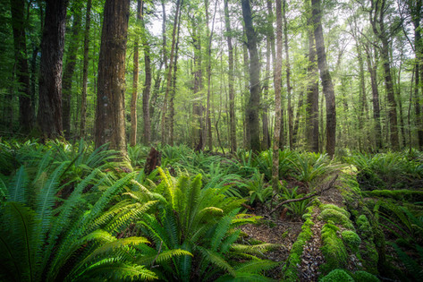 new-zealand-forest