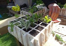 planter aromàtiques