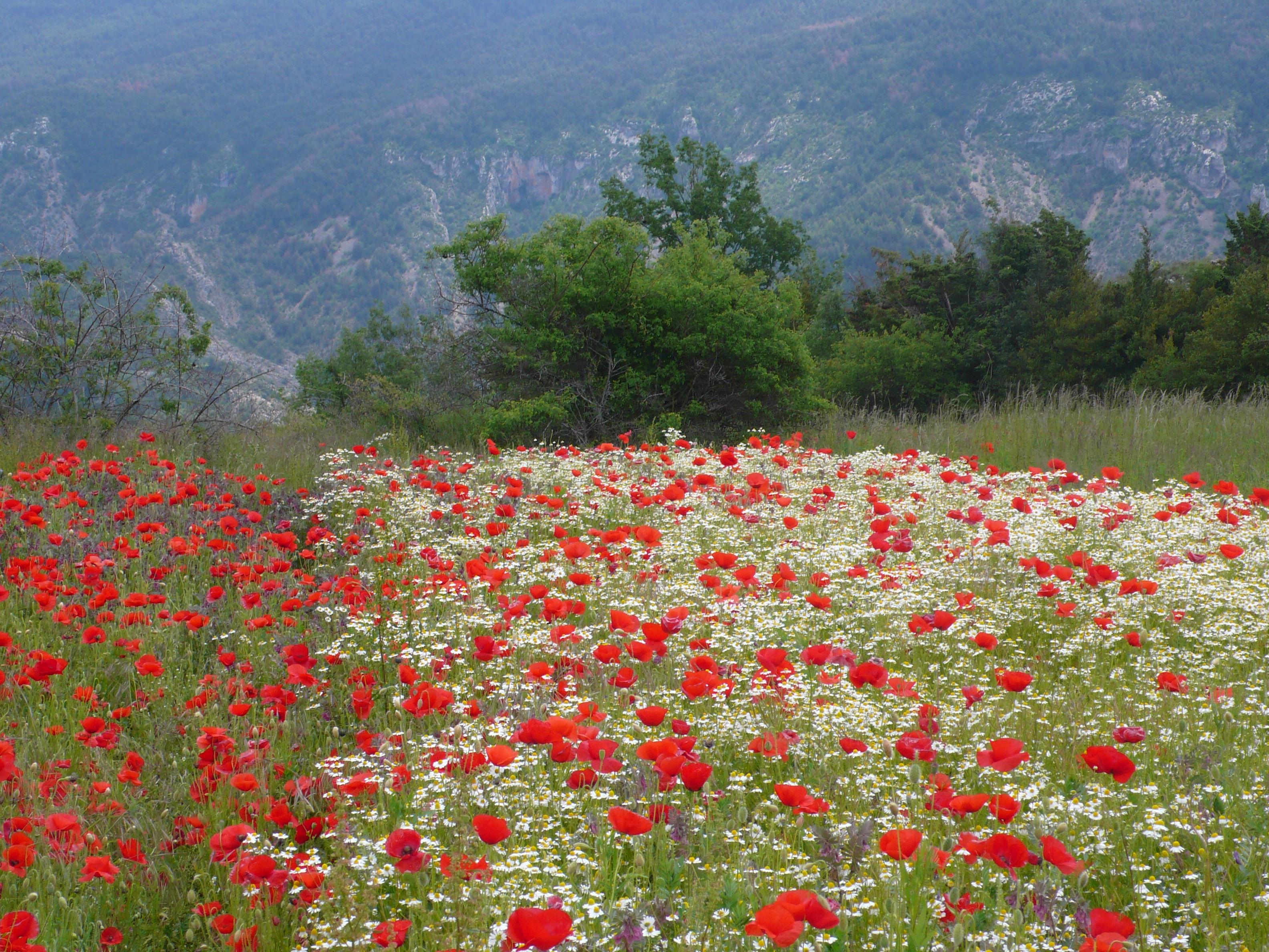 Camps Rosella i Camamilla