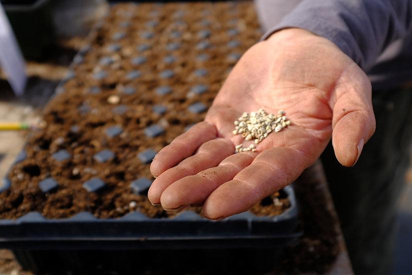 organic seeds in hands of farmer regener