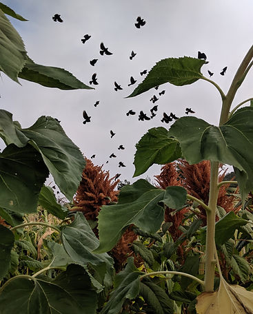 birds in field of mammoth sunflowers org