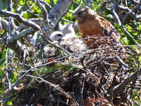 Hawk nest at Dunn Ranch Center.jpeg