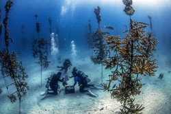Divers-at-work-in-the-CRF-Coral-Tree-Nursery