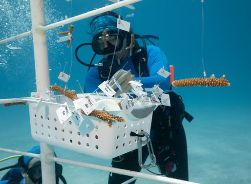 THE WORLD'S FIRST LARGE-SCALE CORAL SWAP SEES LOST CORAL GENOTYPES RETURNED TO OCEAN-BASED NURSERIES