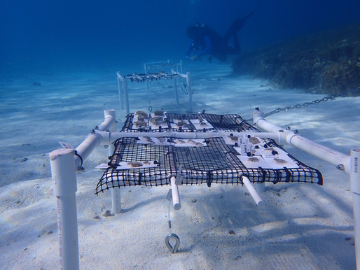 NEW NURSERY IS HALF-WAY HOUSE FOR RESCUED CORALS