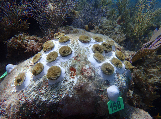 Onto Bigger and Better Things: Boulder Corals Thrive after Reef Outplanting