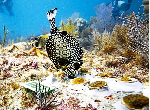 Boulder Corals Back on the Reef!