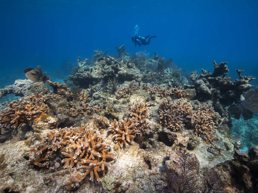 100,000+ CRITICALLY ENDANGERED CORALS RETURNED TO THE FLORIDA REEF TRACT