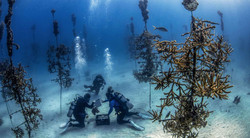 Divers-at-work-in-the-CRF-Coral-Tree-Nur