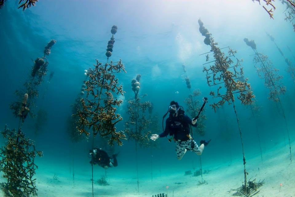 A_diver_marvels_at_the_Coral_Restoration
