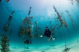 A_diver_marvels_at_the_Coral_Restoration