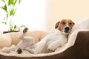 bigstock-siesta-dog-59593190_900.jpg