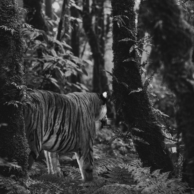 Tiger Still Frame