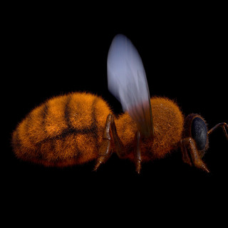 Bee for short film
