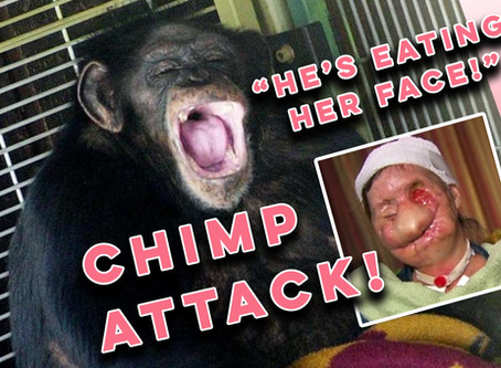 The horrifying story of Travis: The face-eating chimp raised as a human