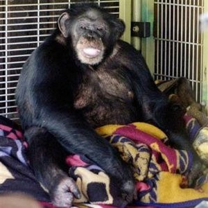 Travis the chimp pictured in his enclosure at home