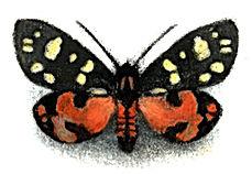 scarlet_tiger_moth-Louise Bird-Church St