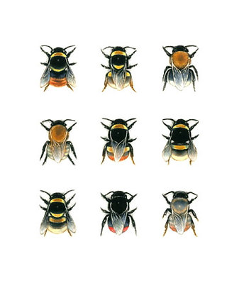 Louise Bird - Bumblebee Species 2