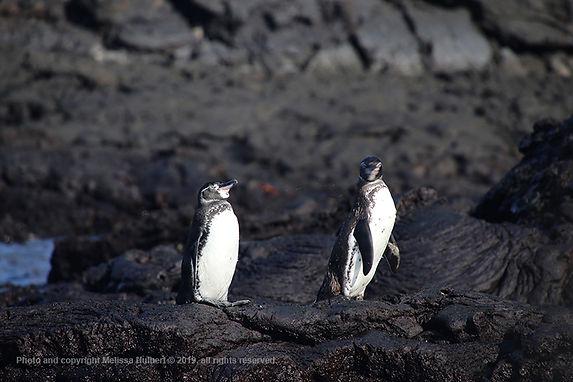 Galapagos-Penguins-1-w.jpg