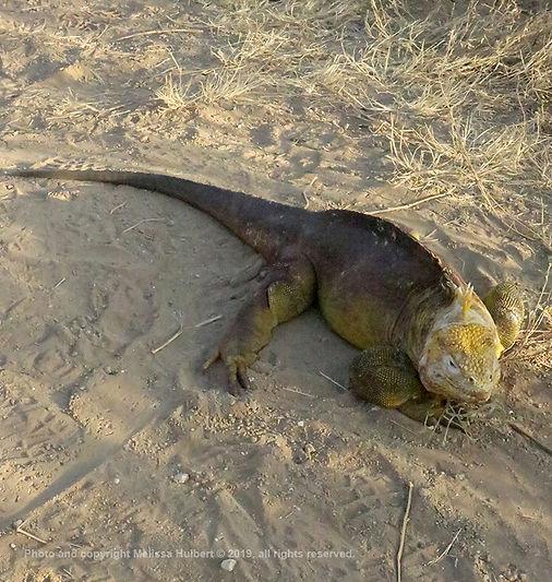 Galapagos-Land Iguana-1-w.jpg