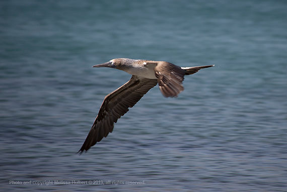 Galapagos-Blue-footed Booby in Flight-2-