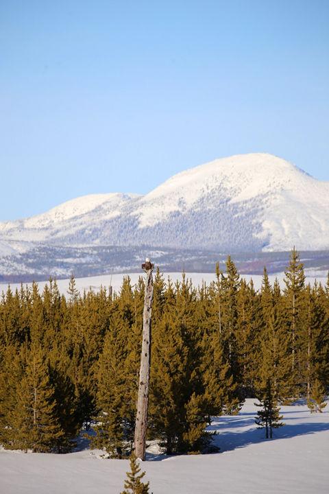 Bison and Bald Eagle-Yellowstone Nationa