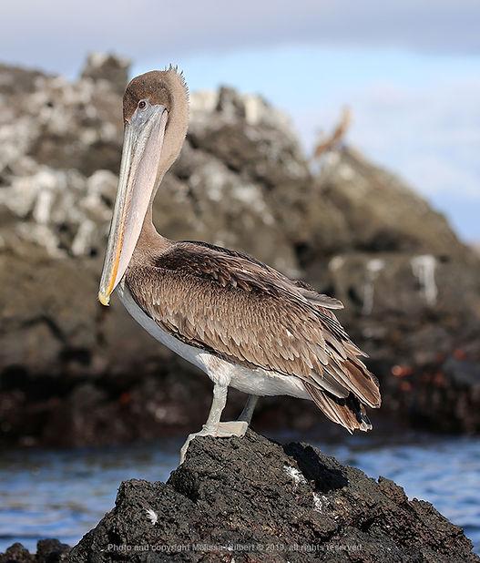 Galapagos-Brown Pelican-1-w.jpg