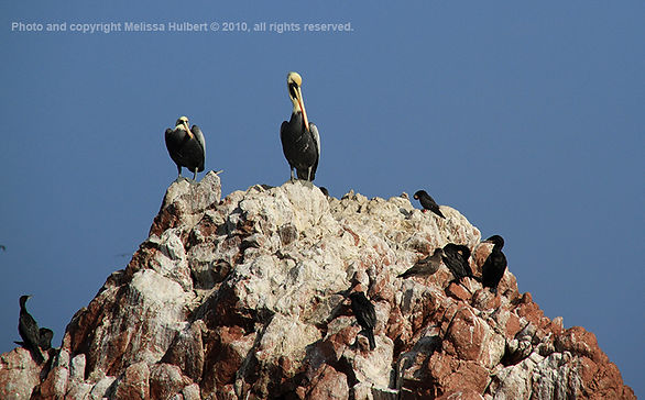 Peruvian Pelican_Ballestas Islands_Peru-