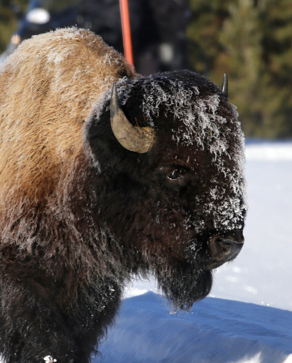 Bison-Yellowstone National Park-5.jpg