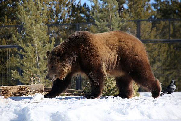 Grizzly Bear-Bear and Wolf Sanctuary-Wes