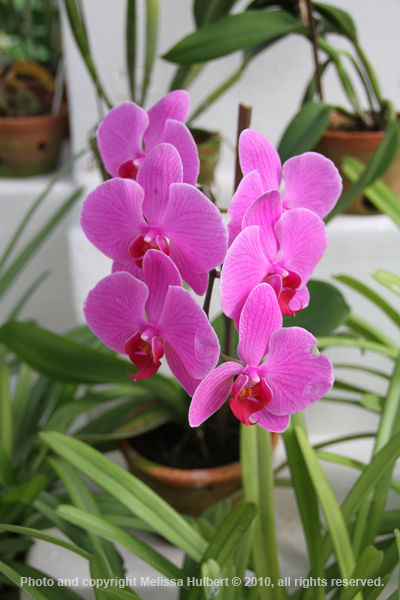 Orchids-Rio de Janeiro-Brazil-w.jpg