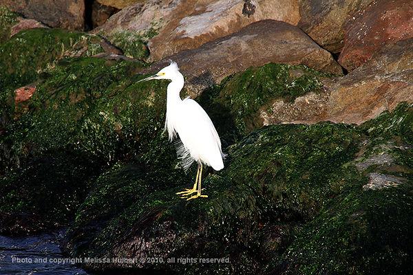 Paracas_Peru_Snowy Egret-2-w.jpg