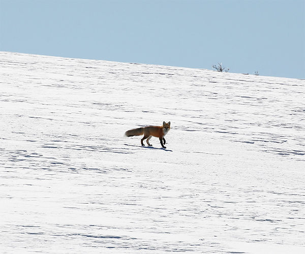 Red Fox-Yellowstone National Park.jpg