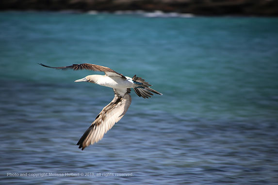 Galapagos-Blue-footed Booby in Flight-1-