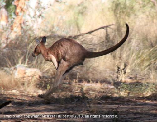 Kangaroo-Ormiston Gorge-w.jpg