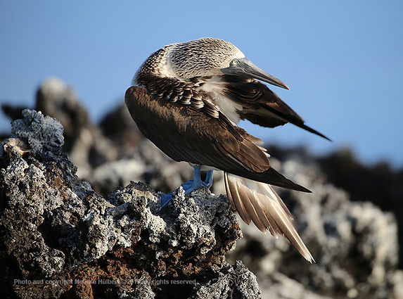Galapagos-Blue-footed Booby-2-w.jpg