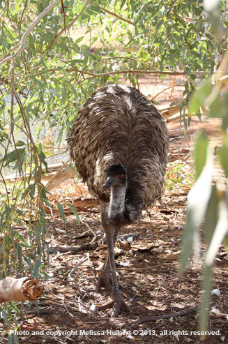 Emu near Henbury-w.jpg