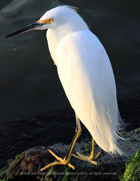 Paracas_Peru_Snowy Egret-5-w.jpg