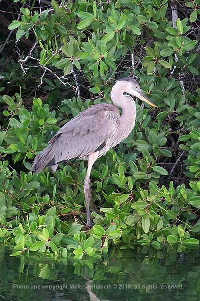 Galapagos-Great Blue Heron-1-w.jpg