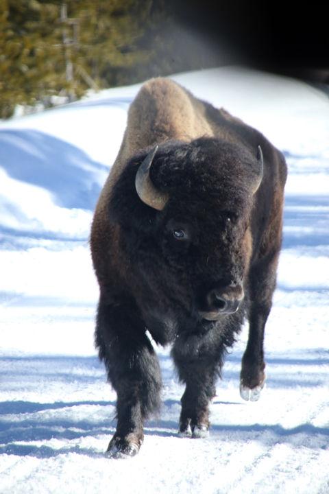 Bison-Yellowstone National Park-4.jpg