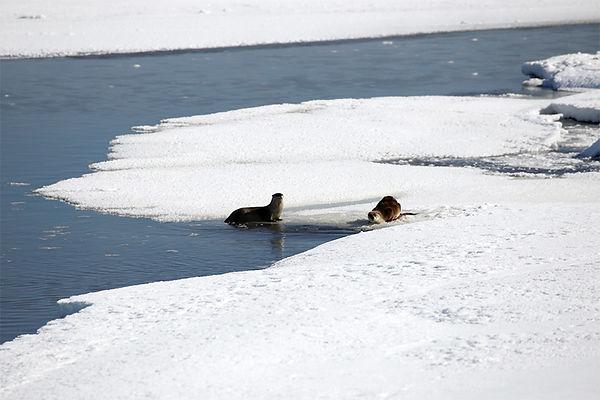 Otters-Yellowstone National Park-1.jpg