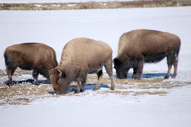Bison-Yellowstone National Park-2.jpg