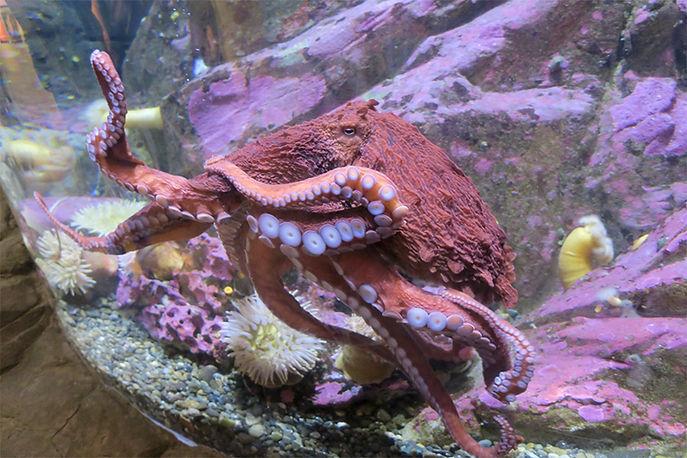 Seattle Aquarium-George-Giant Pacific Oc